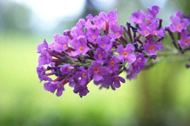 Butterfly Bush08-26-201412