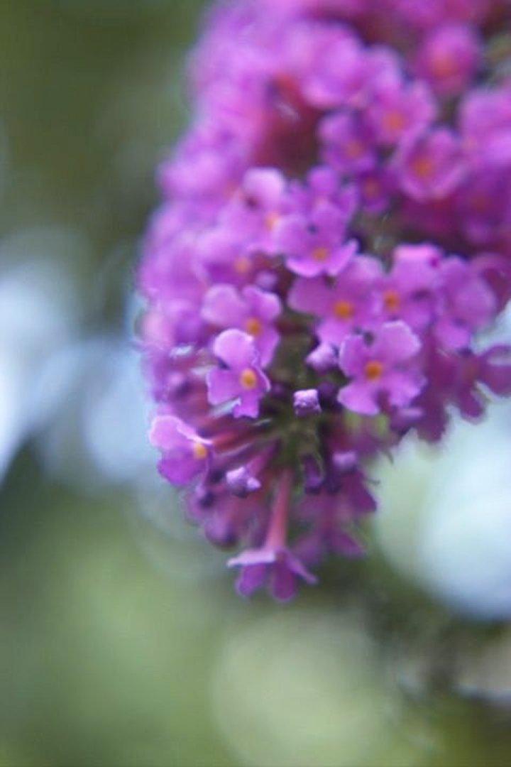 Butterfly Bush08-26-201413