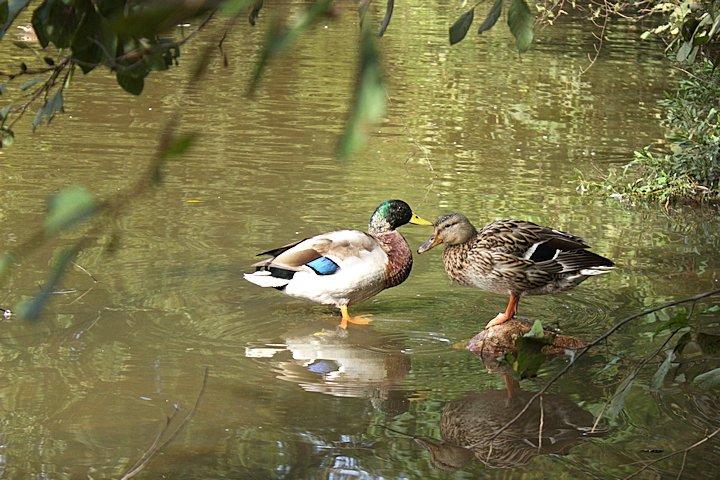 Ducks-09-29-2014-01