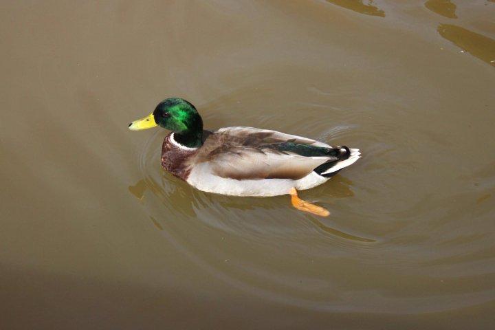 Ducks-09-29-2014-02