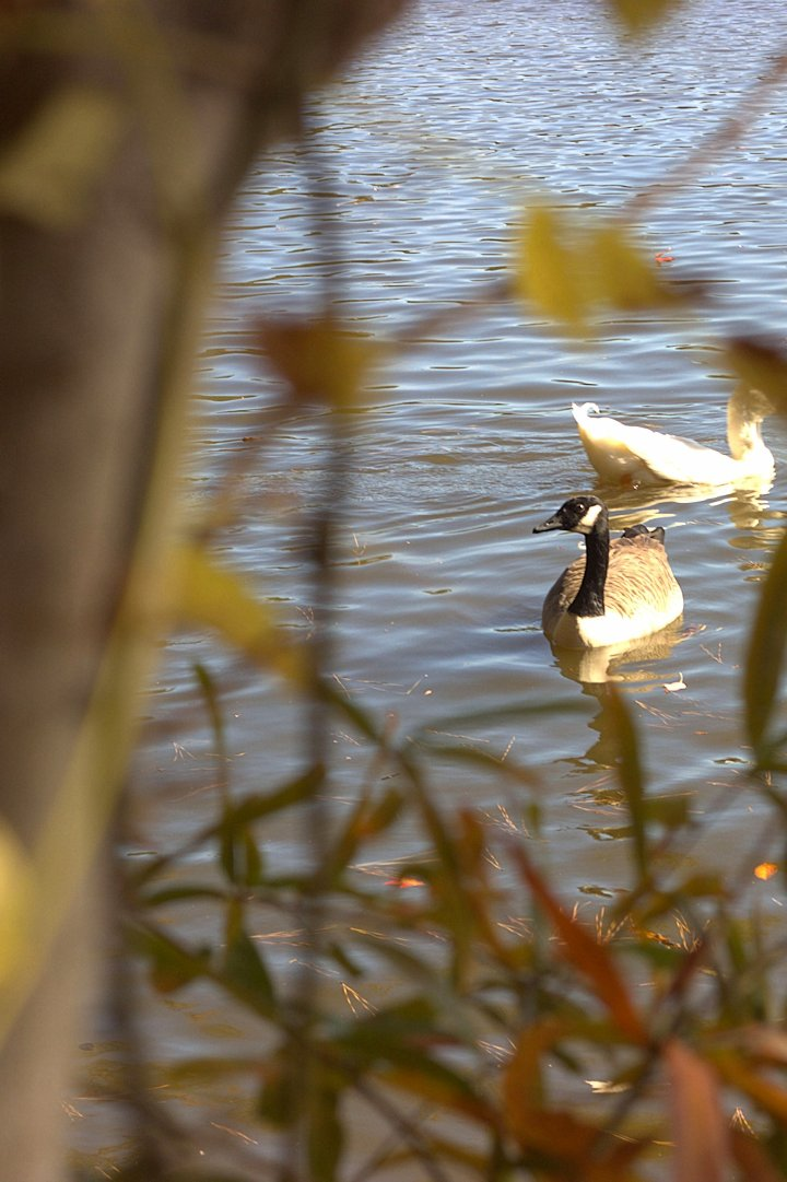 Geese-11-08-2014-01