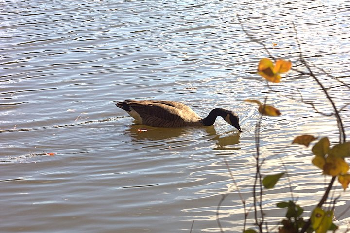 Geese-11-08-2014-03